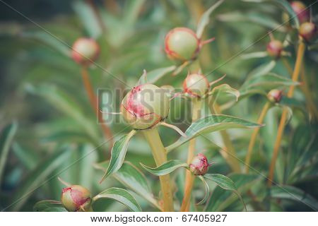 Unblown young peony bud in the garden, stock photo
