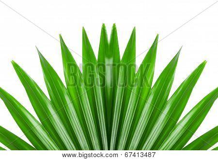 Green Livistona On The White Background
