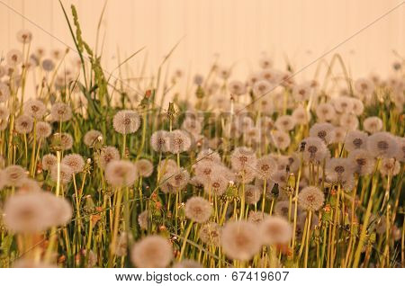 Fluffy Dandelion On A Background Of Bright Light Wall At Sunset