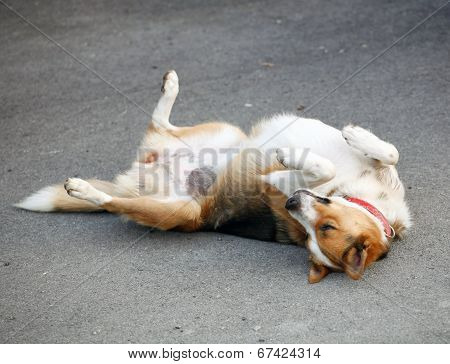 Mongrel Dog Lying On The Asphalt