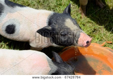 Vietnamese Pot Belly Piglet