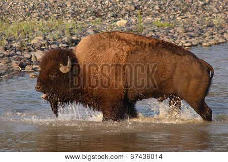 Bison Bawling in the River