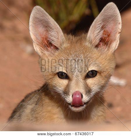 Kit Fox Playful