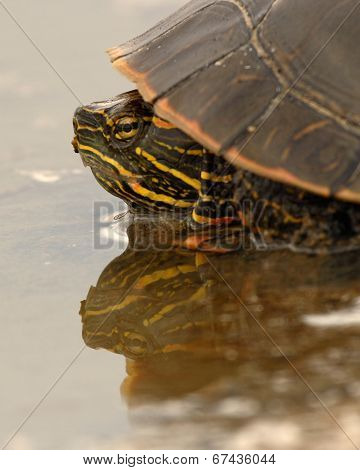 Painted Turtle Reflections