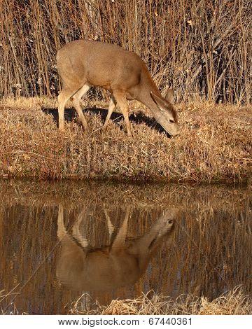 Female Mule Deer Feeding