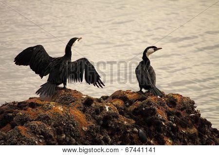 Little Black Shag Pair Perched