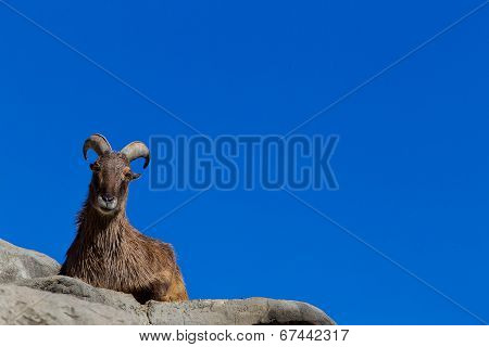 Himalayan Tahr stretched out on a cliff in the sun