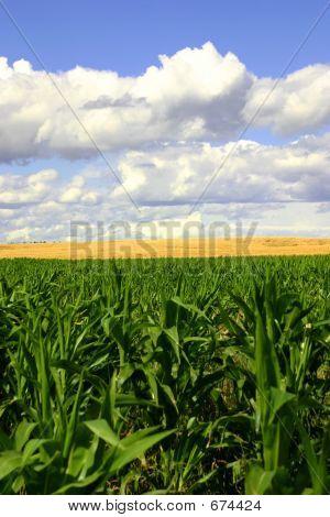 Campos de verdes y oro azul Skies2