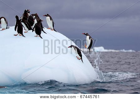 Jumping Gentoo Penguins on Iceberg