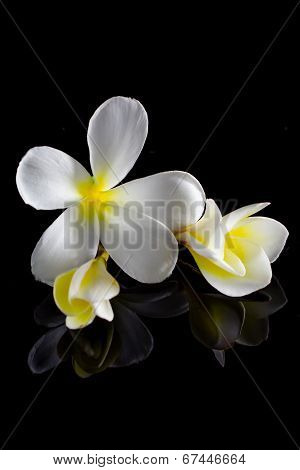 Frangipani Flower Isolated On Black Background