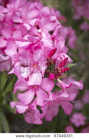 Oleander (Nerium oleander) closeup