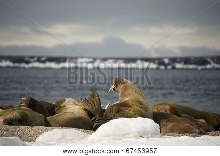 Walruses with giant tusks at Arctic haul-out
