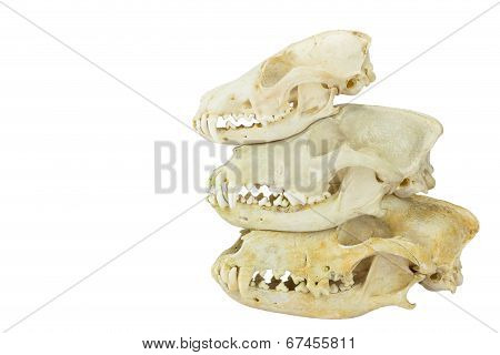 Skulls of fox and dogs on top of each other