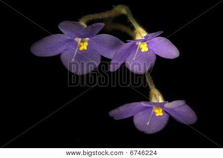 African Violet Over Black