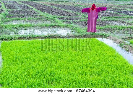 Scarecrow In The Green Rice Field