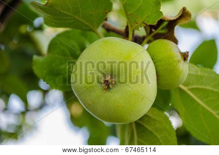 Growing Apple
