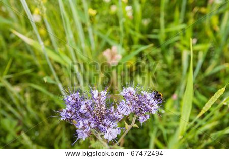 Violet Flowering Lacy Phacelia Visited By A Bumblebee