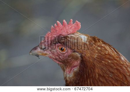 Chicken - Gallus gallus