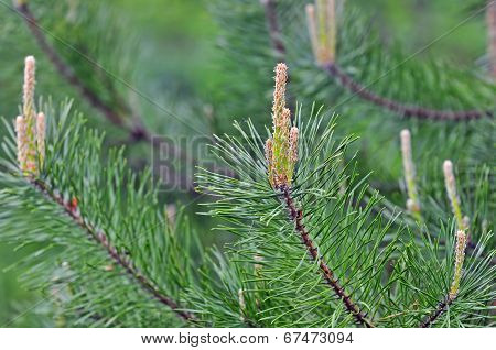 Nature backgrounds - detail photo of conifer