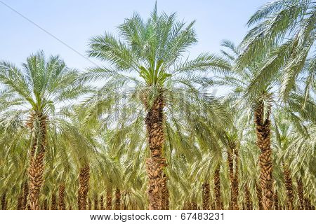 Date Figs Palm Forest Or Plantation Orchard