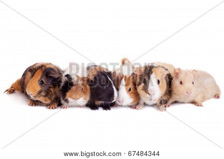 Group of 6 guinea pigs