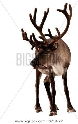 Reindeer Caribou