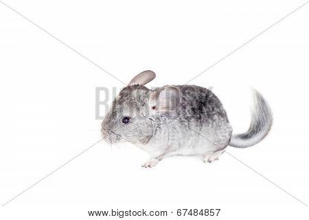 Baby chinchilla isolated on white