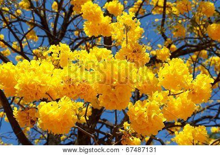 Yellow Flowers Of Tree Tabebuia Aurea