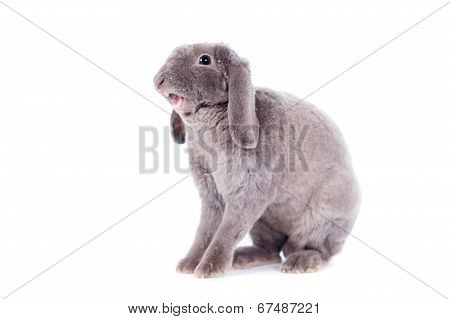 Yawn Grey lop-eared rabbit rex breed