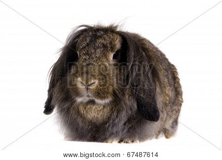 Lop-eared brown rabbit