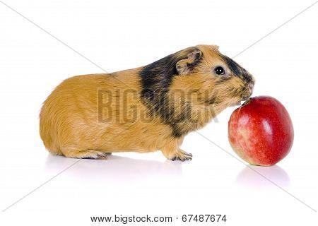 Guinea pig eats an apple