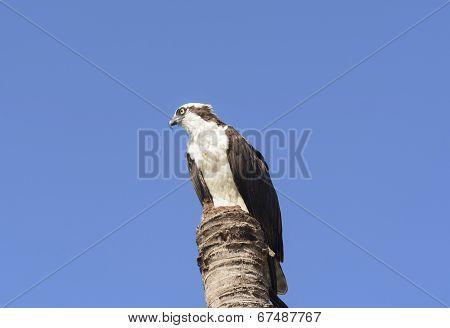 Osprey In The Wilderness