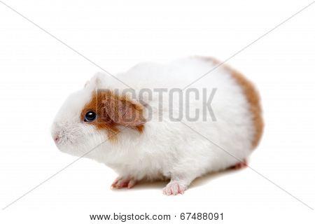 Teddy guinea pig