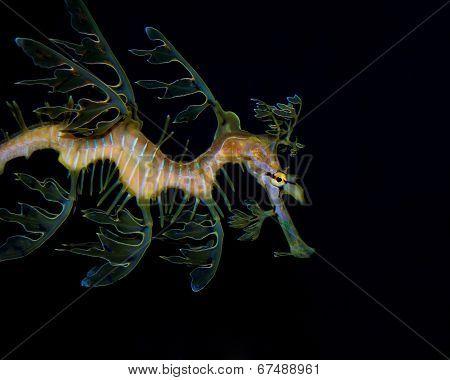 Leafy Seadragon: Phycodurus eques