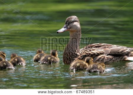 Mother Duck With Ducklings On Lake