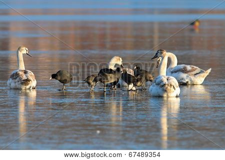 Mute Swans And Black Coots