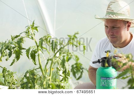 Man Care About Tomatos Plants In Greenhouse