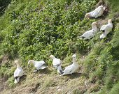 stock photo of gannet  - Flock of nesting wild Northern Gannets morus bassanus collecting nesting material on cliff of english coastline - JPG