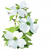 picture of dogwood  - Hand drawn vector illustration of dogwood blossom - JPG