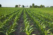 stock photo of corn  - A green field of young corn plants with a farm in the background - JPG