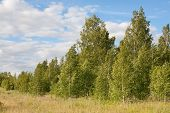 picture of birchwood  - Birchwood against the sky with clouds - JPG