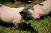foto of pot bellied pig  - Thai style Vietnamese Pot Belly piglet nursery house in Thai pig farm - JPG