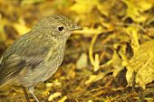 stock photo of songbird  - A New Zealand Robin pausing in a yellow forest - JPG