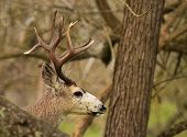 pic of black tail deer  - A trophy Black - JPG