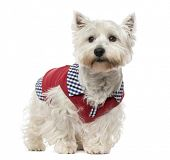 pic of west highland white terrier  - West Highland White Terrier - JPG