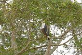 picture of fish-eagle  - African Fish Eagle in Queen Elizabeth National Park in Uganda - JPG