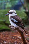 picture of kookaburra  - Kookaburra sitting still on a branch in woodland - JPG