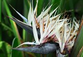 picture of bird paradise  - Strelitzia nicolai Giant White Bird of Paradise flower in bloom in spring - JPG