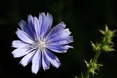 image of chicory  - Chicory Flower in early morning sun with dark background