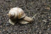 stock photo of hermaphrodite  - Small brown snail on road in garden - JPG